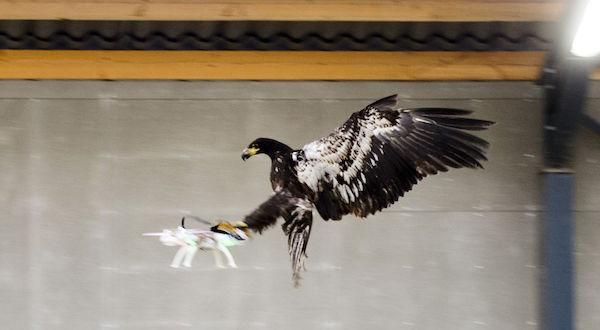 Imagen del águila cazando un dron