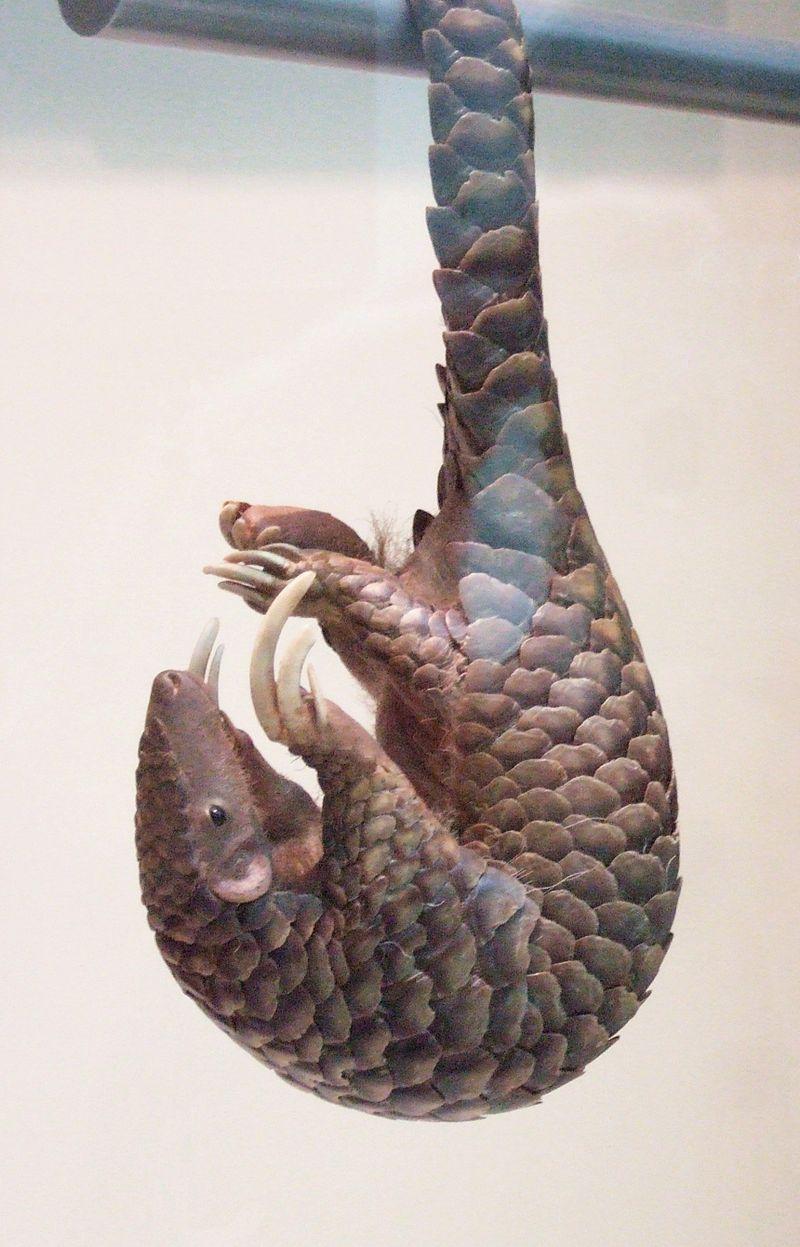 Pangolín sujetado con su cola