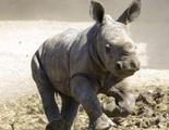Evitar la extinción del rinoceronte blanco modificando las células ¿Es posible?