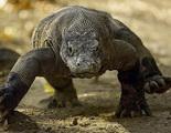 El poder antibiótico que reside en los dragones de Komodo