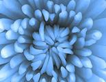 Crean flor azul artificial gracias a la ingeniería genética