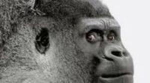 CES 2013: Gorillas Glass 3 será presentado en el evento