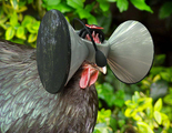Un casco de realidad virtual para gallinas